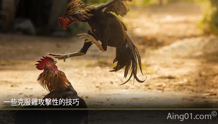 一些克服雞攻擊性的技巧