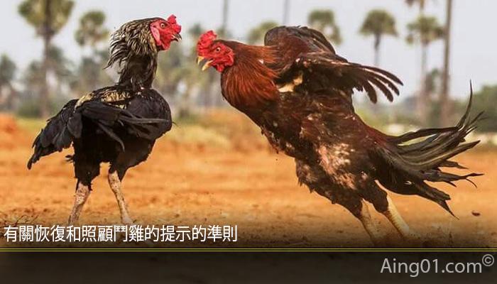 有關恢復和照顧鬥雞的提示的準則