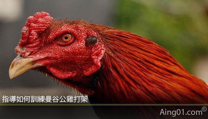 指導如何訓練曼谷公雞打架